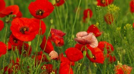 Poppies Wallpapers Widescreen