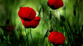 Poppies Wallpapers Full HD