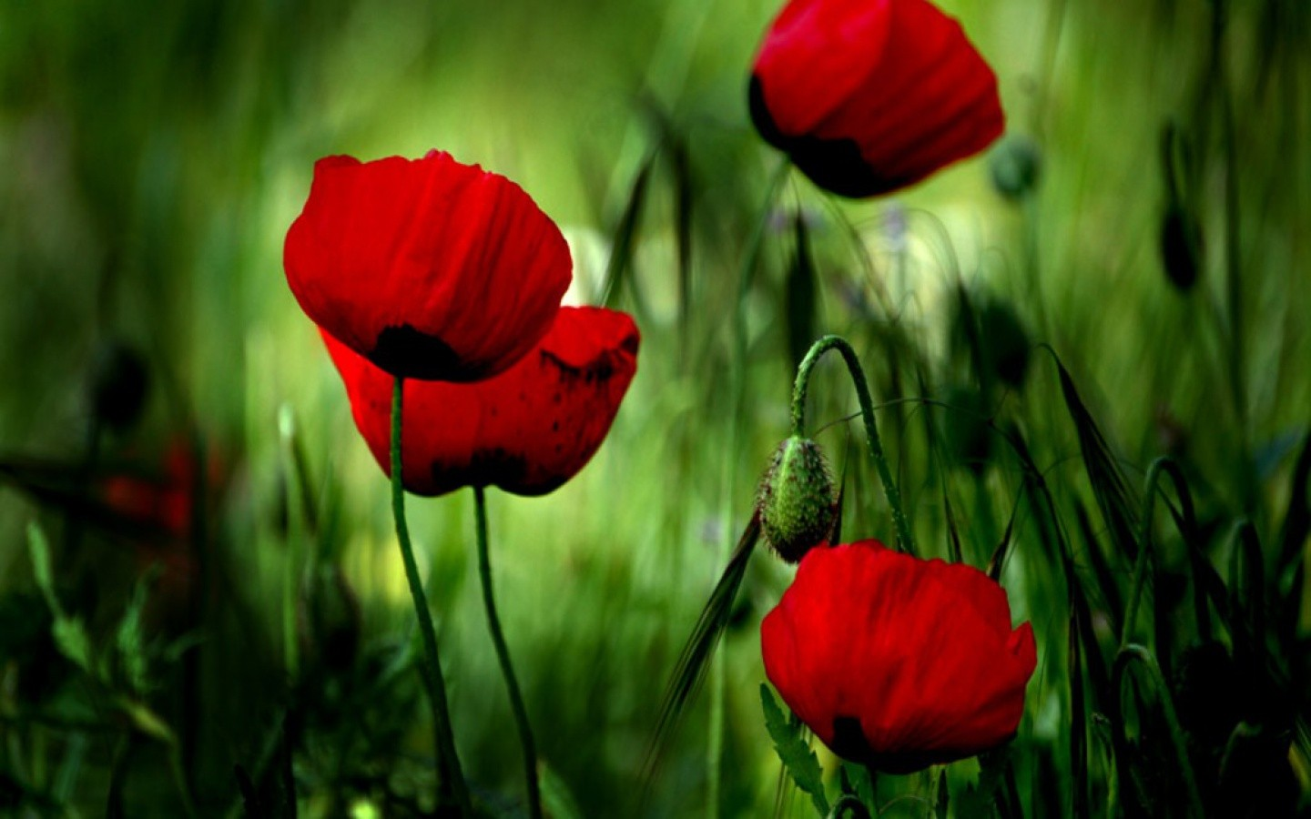 poppies wallpaper wallpapers high quality download free