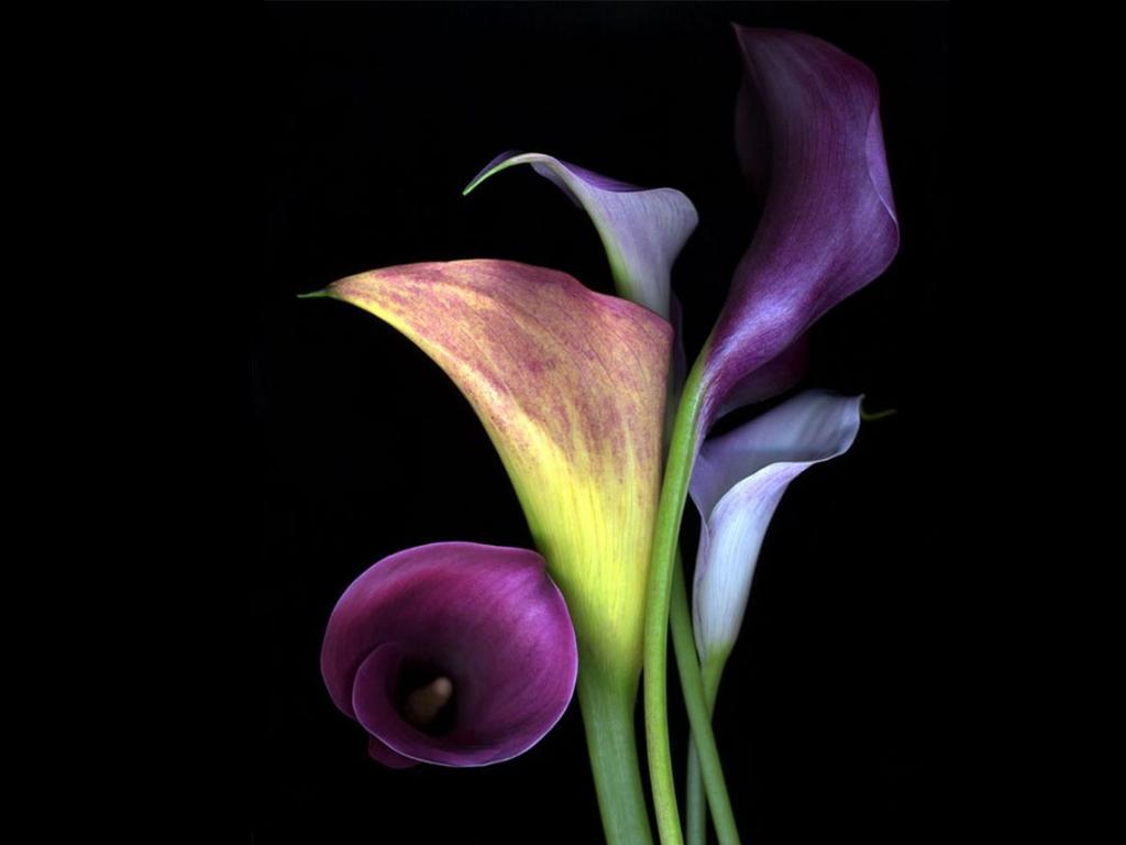 desktop backgrounds lily - photo #47