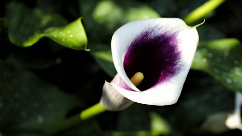 Calla Lily wallpapers high quality
