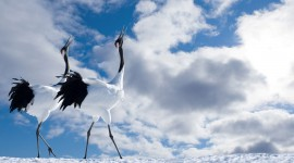 Crane Wallpaper Download