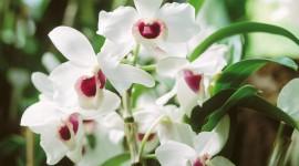 Dendrobium Orchid Pics