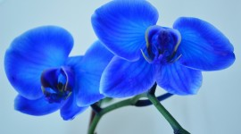 Dendrobium Orchid Wallpaper Free