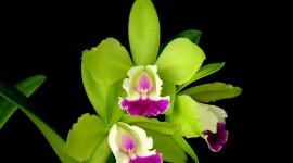 Dendrobium Orchid Wallpaper For Desktop