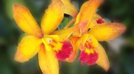 Dendrobium Orchid Image