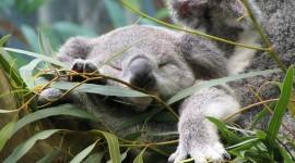 Koala Wallpaper For PC