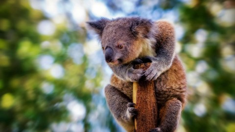 Koala wallpapers high quality