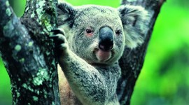 Koala Wallpaper Download