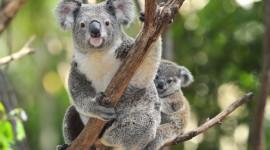 Koala Wallpaper Desktop Backgrounds