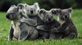Koala Best Wallpapers