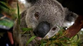 Koala Best Wallpapers Full HD