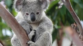 Koala Photos Gallery