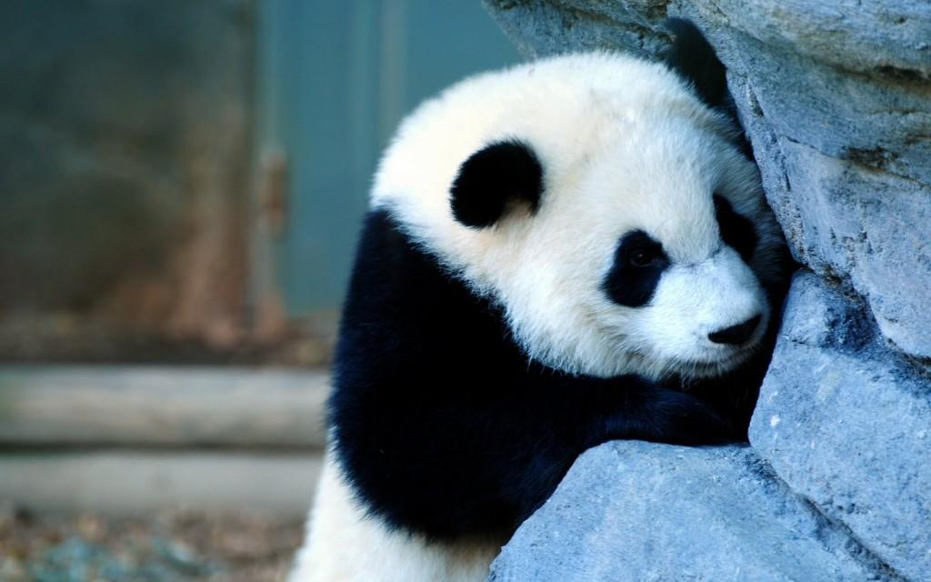 Panda wallpapers HD