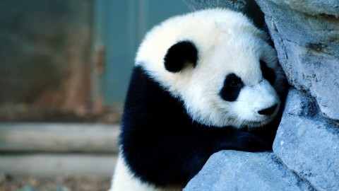 Panda wallpapers high quality