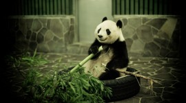 Panda High quality wallpapers