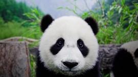 Panda Wallpaper For desktop