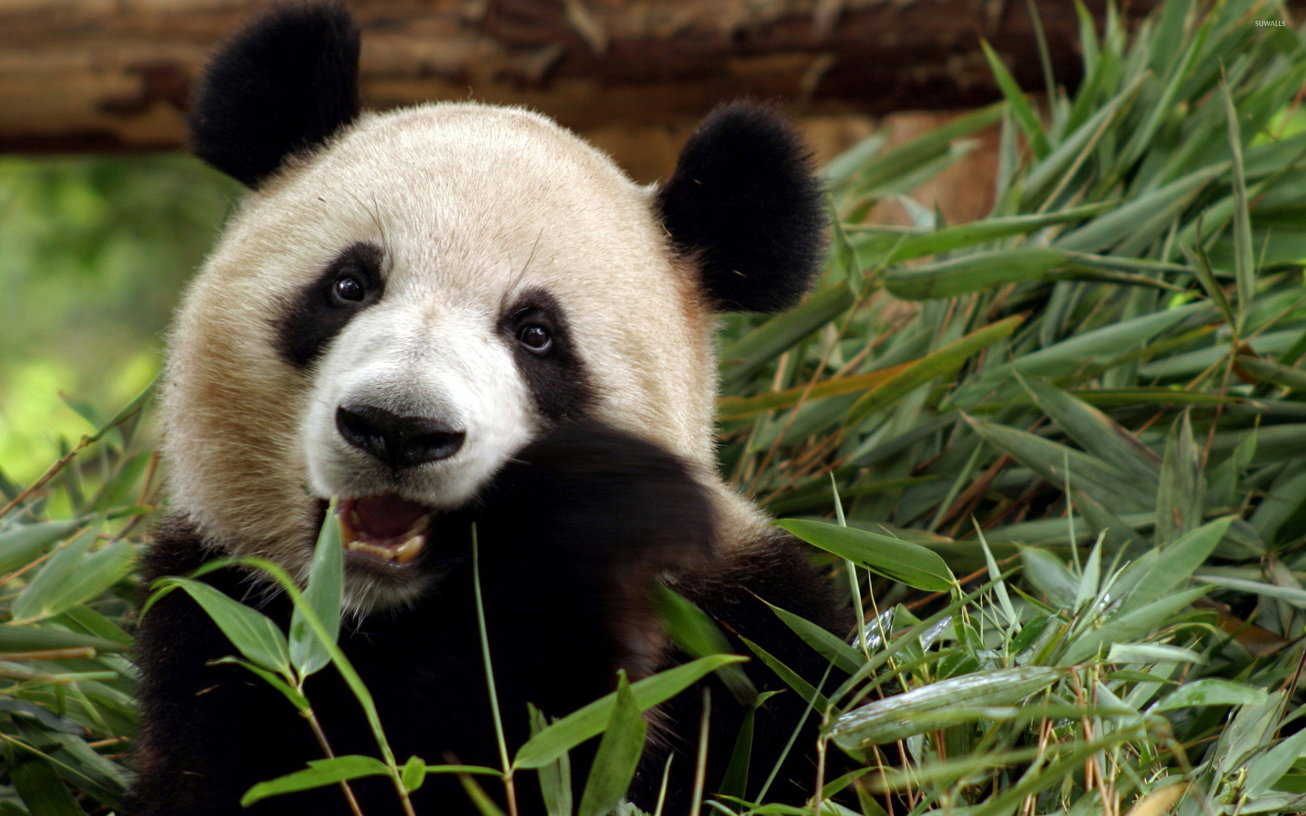 panda backgrounds download - photo #33