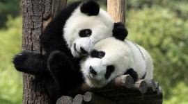 Panda Wallpaper Free