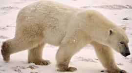 Polar Bear Wallpapers Free