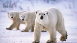 Polar Bear Wallpaper 1080p