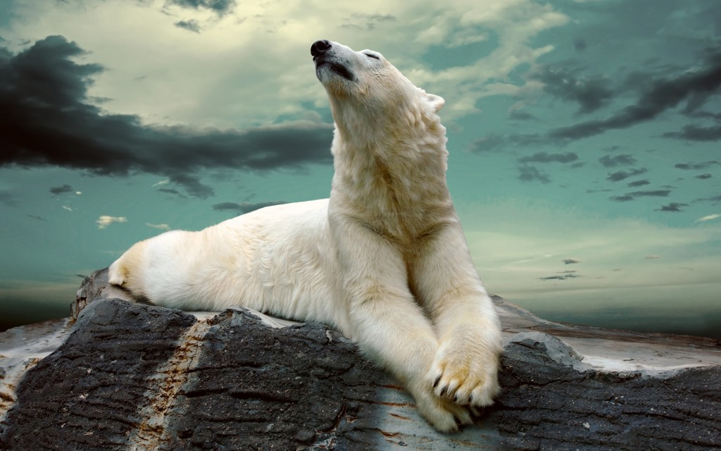 Polar Bear wallpapers HD