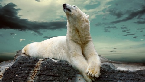 Polar Bear wallpapers high quality