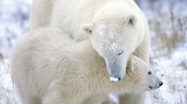 Polar Bear Wallpaper Full HD