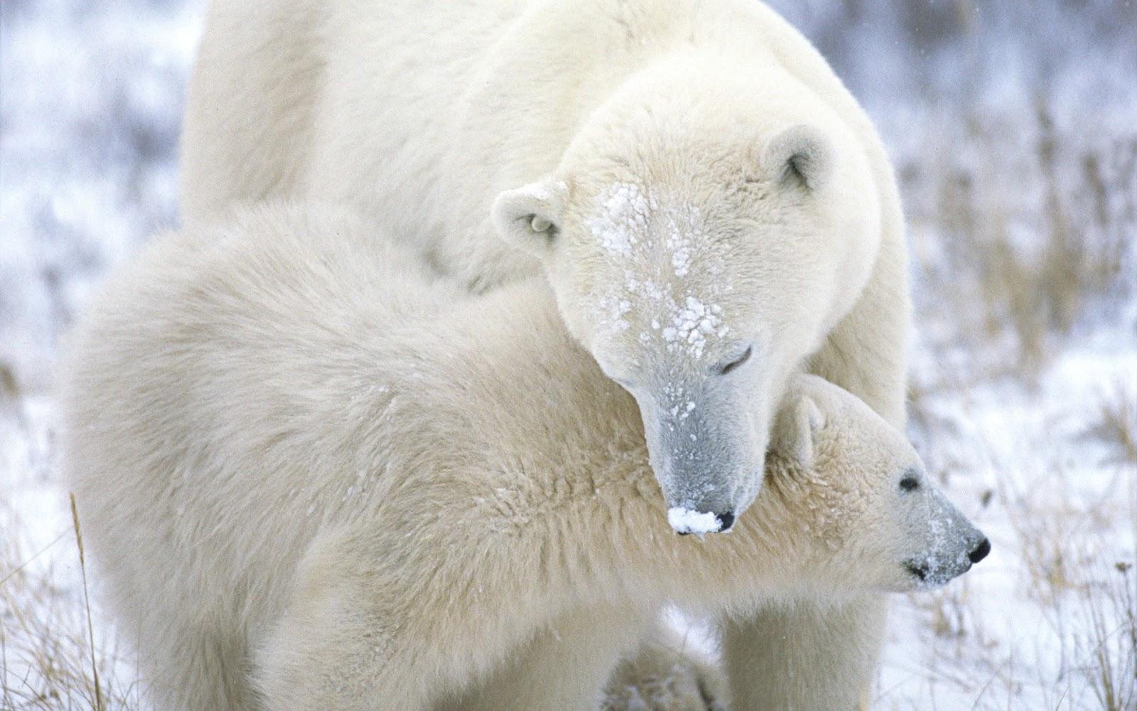 Polar Bear Wallpaper Wallpapers High Quality