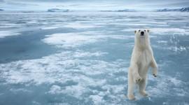 Polar Bear Wallpapers HQ
