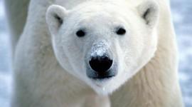 Polar Bear Pics