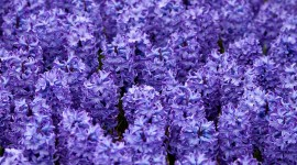 Hyacinth Desktop Wallpaper Free