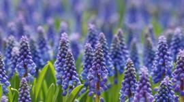 Hyacinth Photo