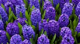 Hyacinths Wallpaper Free