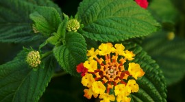 Lantana Wallpaper High Resolution