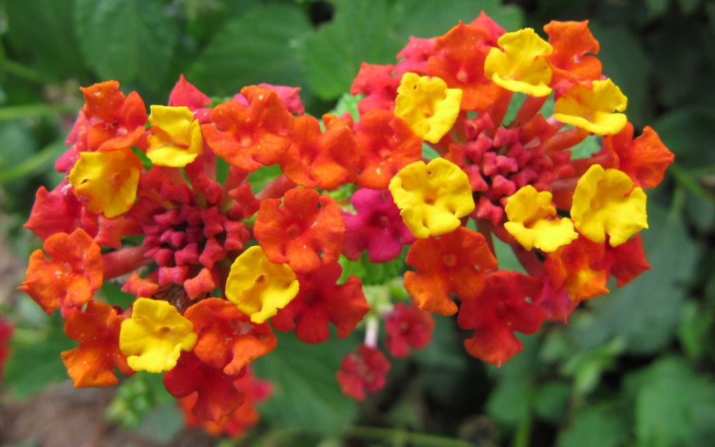 Lantana wallpapers HD