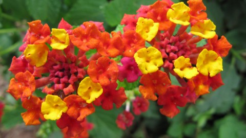 Lantana wallpapers high quality