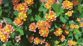 Lantana Wallpaper For PC