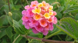 Lantana Wallpaper HD