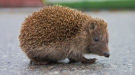 Hedgehog Poto HD