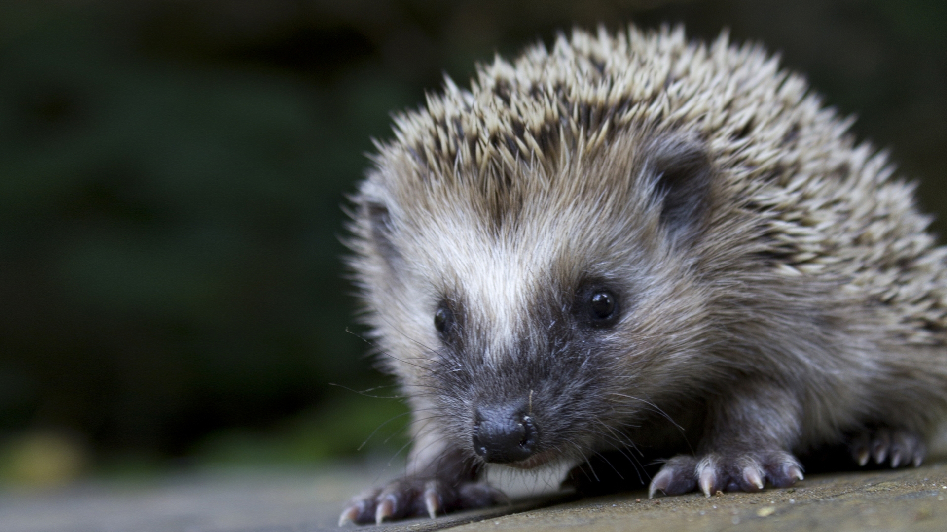 hedgehog wallpapers wallpapers high quality download free