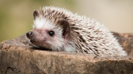 Hedgehog Image