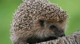 Hedgehog Wallpaper Download