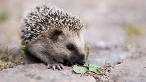 Hedgehog wallpapers high quality