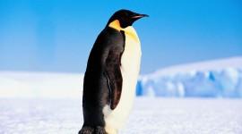 Penguin Wallpaper Full HD