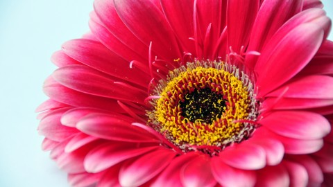 Gerbera wallpapers high quality