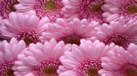 Gerbera Wallpaper For Android