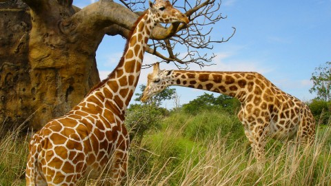 Giraffes wallpapers high quality