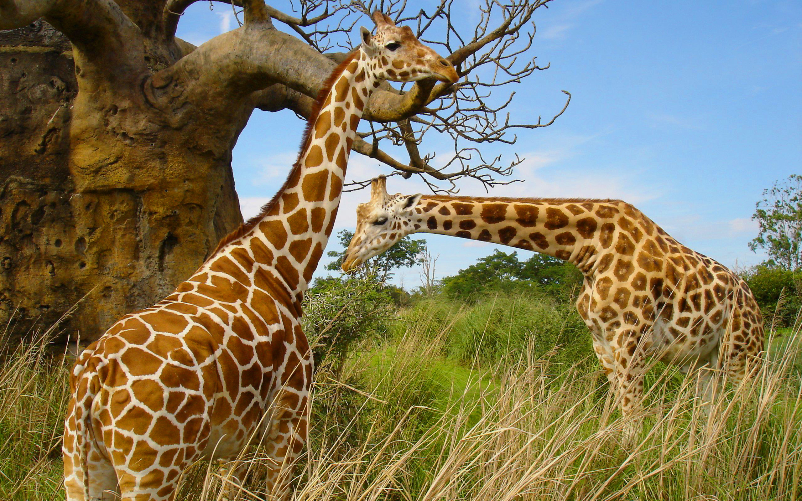 giraffes wallpapers high quality download free