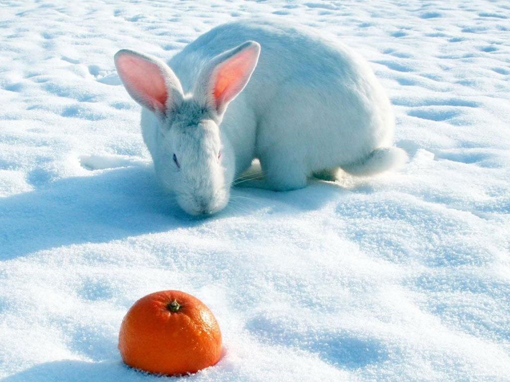 White Rabbit And Orange Fruit Wallpaper